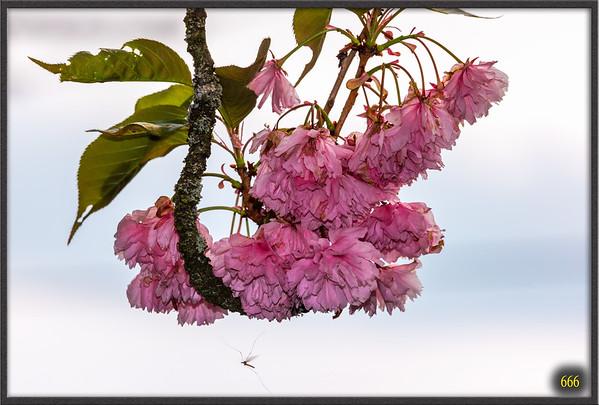2015-04-26 Le Cerisier de la maison