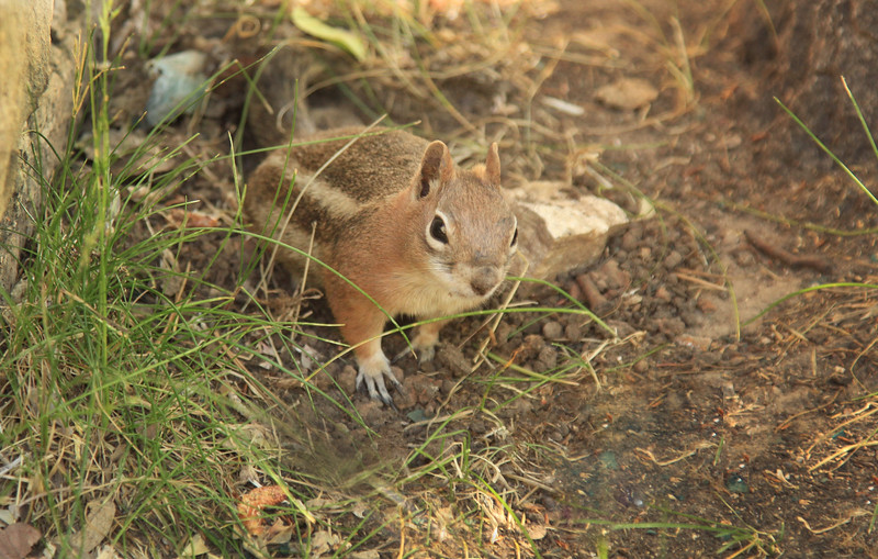 chipmunk squirrel, Golden-mantled Ground Squirre