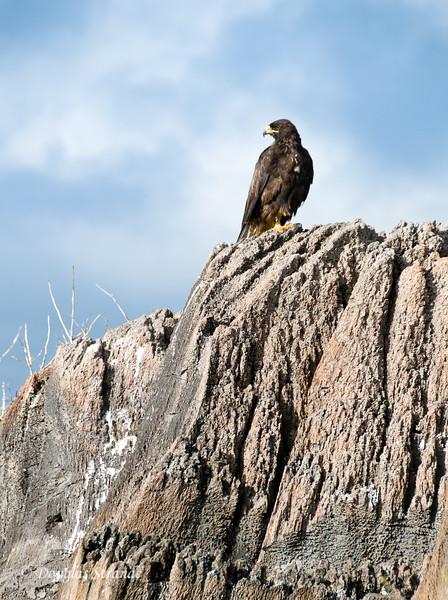 Galapagos hawk on a cliff at Punta Suarez, Espanola Island