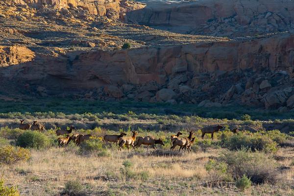 CHCU Elk