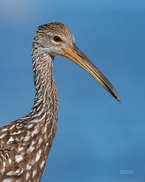 Limpkin, Kissimmee Swamp, Kenansville, FL, US, May 2018-2.jpg