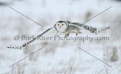 Snowy Owl (rare)