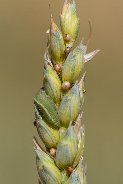 Mumier av bladlus