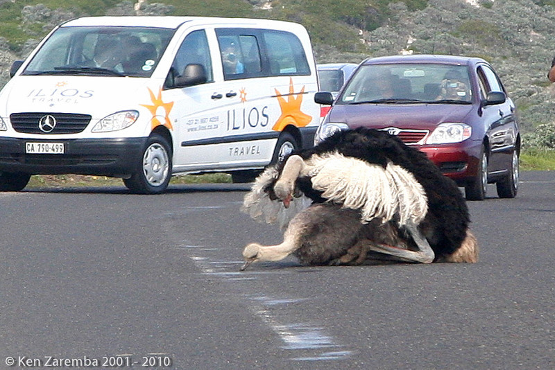 Common Ostrich pairing, a real traffic stopper!
