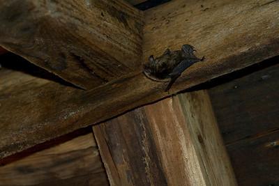 Parmenter Farm Bats