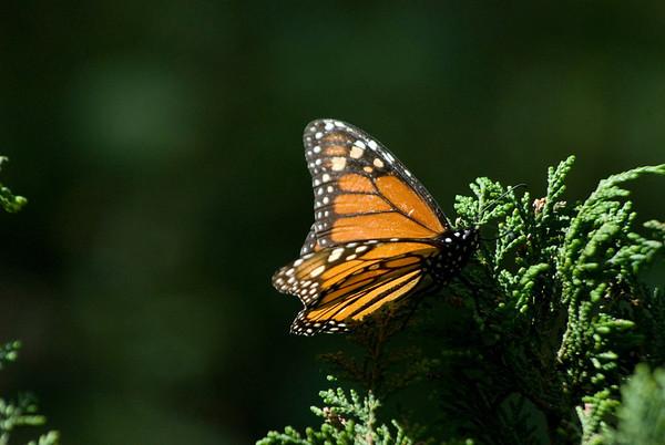 Migrant Monarchs