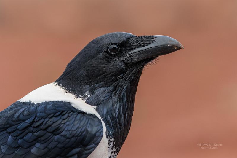 Pied Crow, Zimanga, South Africa, May 2017-1.jpg