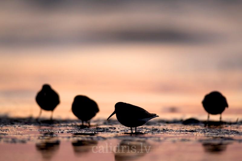Dunlins in sunrise
