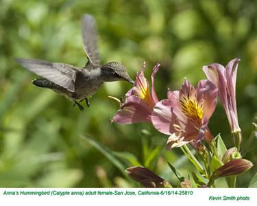 Anna's Hummingbird F25810.jpg