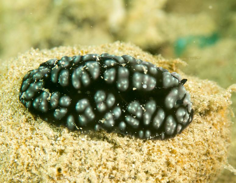 Phyllidiella pustulosa