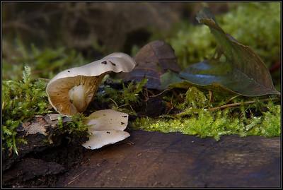 Gewone oesterzwam/ Oyster mushroom