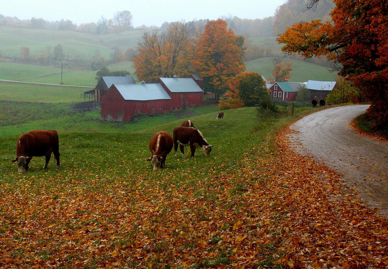 """The famous Jenne Farm, Vermont, taken about 5PM. I stood here for about 45 minutes as the cattle slowly moved closer, my car totally blocking the narrow road, and never saw a soul. A cold, steady rain that had fallen since 8AM had me and my """"water resistant"""" coat totally soaked. I was chilled and shivering by this point, but savoring the photo op to the max. The soft patter of rain was the only sound. Normally in October photographers will have to take turns here for this prime viewing spot, but it was all mine for those peaceful moments. A thin but distracting electric fence magically vaporized in editing."""