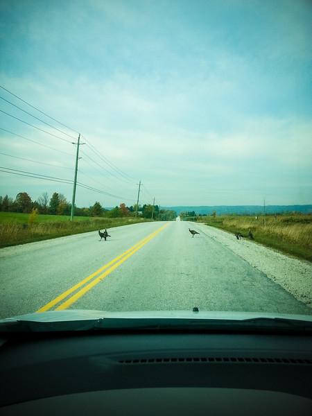 wild turkeys.jpg