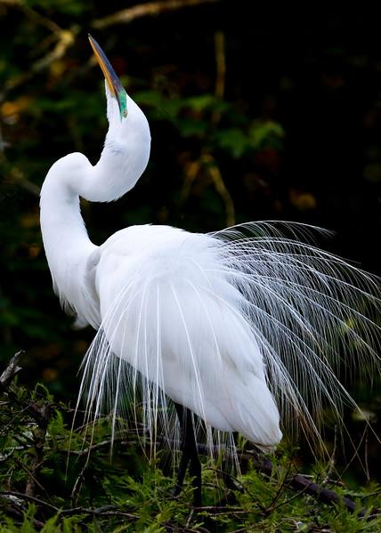 Egret Dance 2.jpg