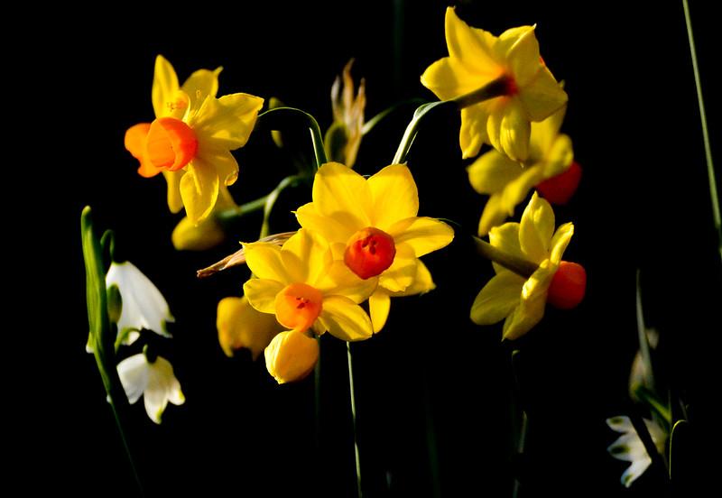 daffodils good.jpg
