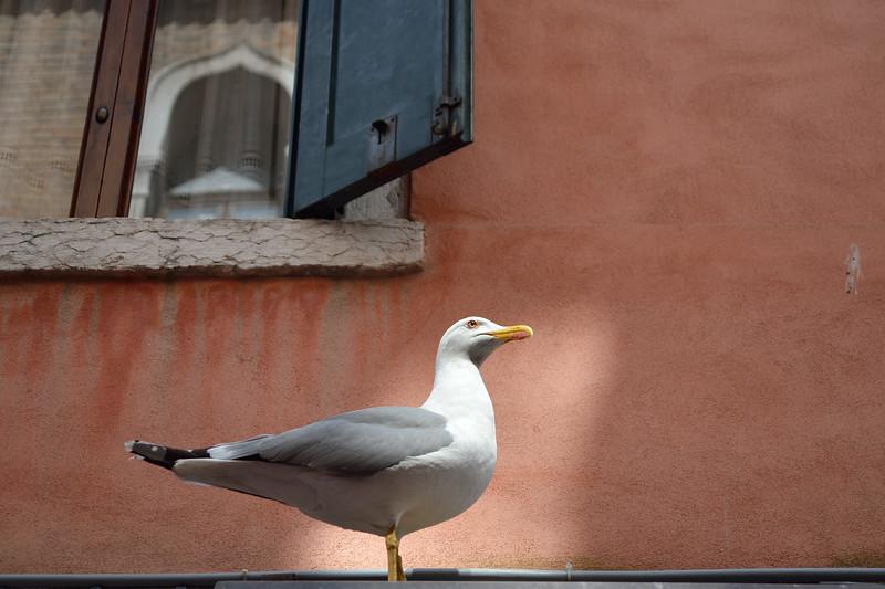 Gabbiano Veneziano - Venice, Italy - April 18, 2014