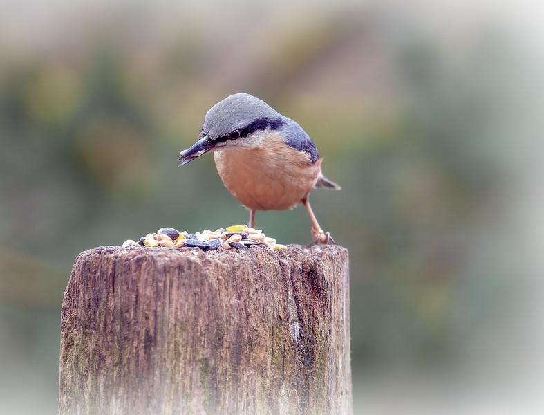 Nut bird.jpg