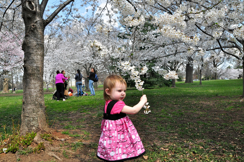 Cherry Blossoms 2014 056.jpg