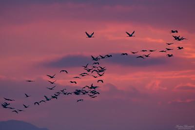 Cranes / Tranor
