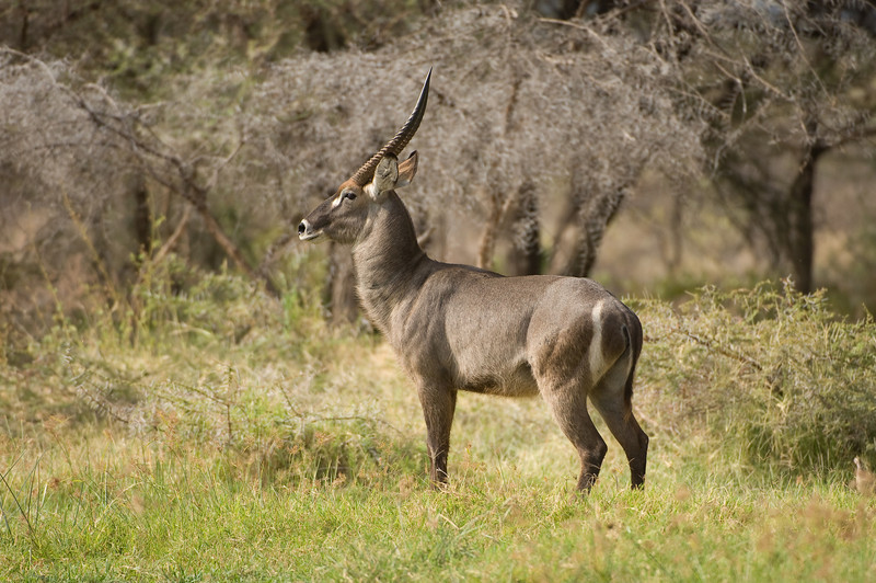 male Common Waterbuck