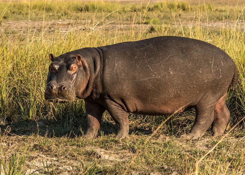 Z_3_2006_B_Hippopotamus.jpg