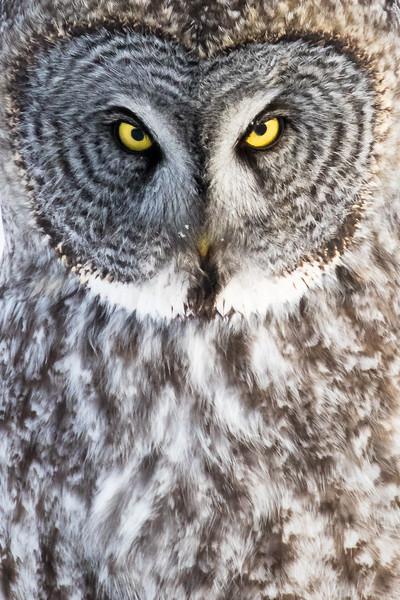 Great grey owl, Strix nebulosa, near Calahoo, Alberta, Canada.