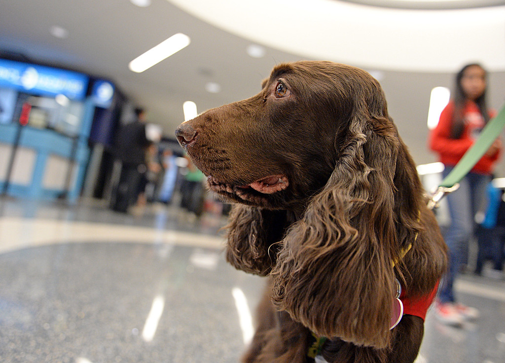 . New program at LAX called PUP (Pets Unstressing People) uses certified dogs to walk the terminals with their volunteer owners to greet passengers and help ease the tensions of modern airline traveling.   Photo by Brad Graverson 4-11-13
