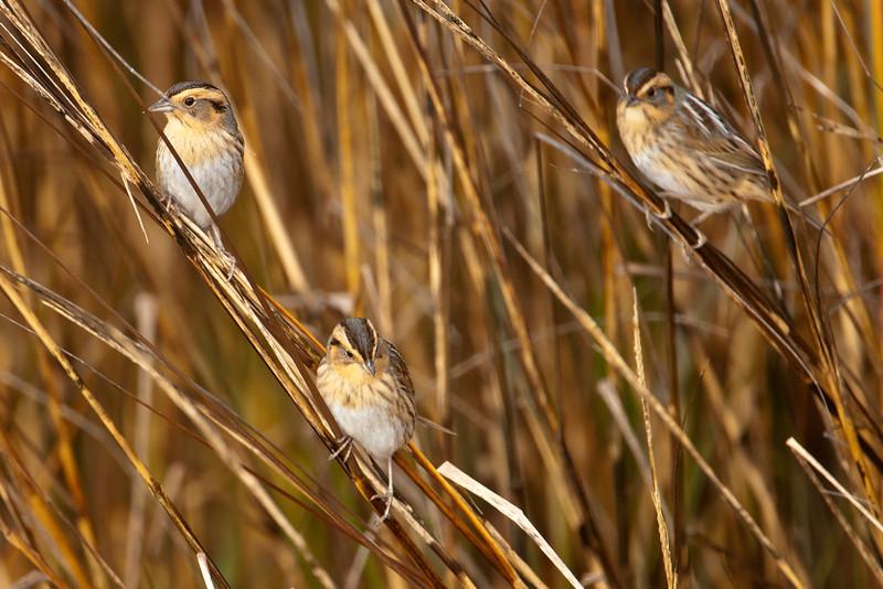 Sparrow - Nelson's - LaFayette Park - Apalachicola, FL - 05