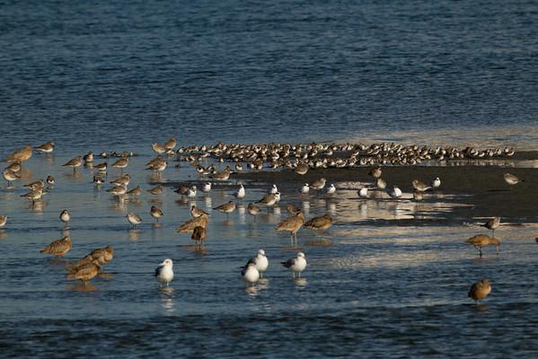 Mixed Shore Birds