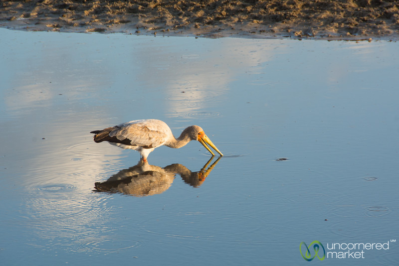 Yellow-Billed Stork, Reflected - Leroo La Tau, Botswana