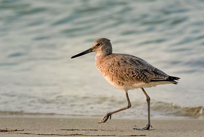 Shore Birds