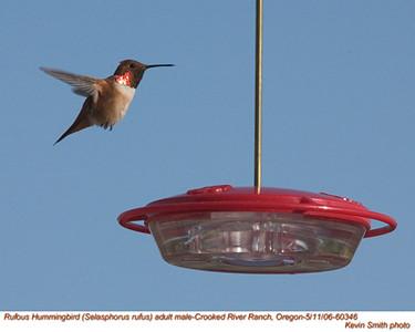 RufousHummingbirdM60346.jpg