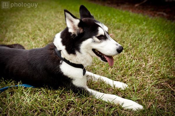 0010-South Florida Siberian Husky Rescue-Edit