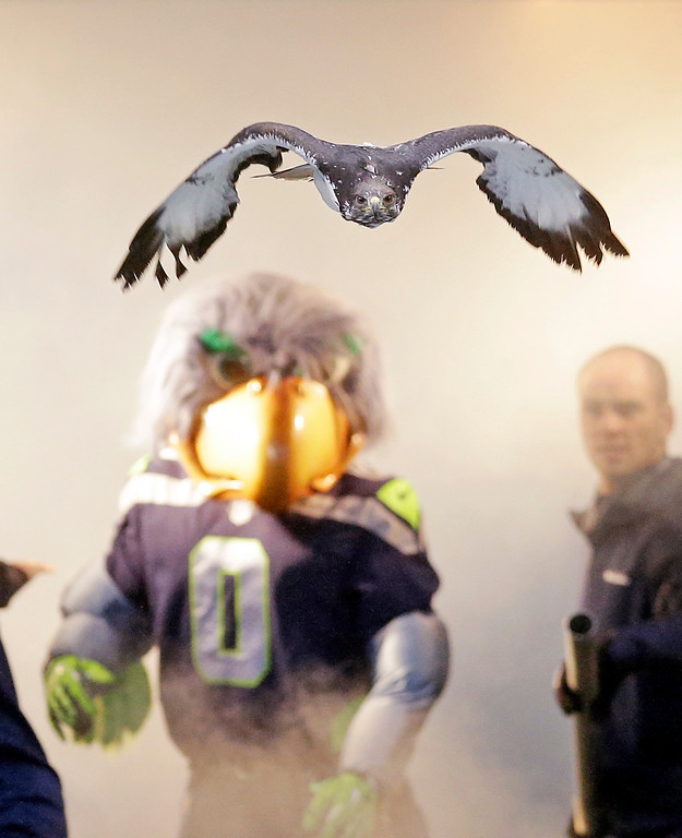 """. \""""Taima,\"""" an auger hawk, flies out of a tunnel and onto the field ahead of the Seattle Seahawks\' mascot \""""Blitz,\"""" before player introductions for an NFL football game against the Arizona Cardinals, Sunday, Dec. 22, 2013, in Seattle. (AP Photo/Elaine Thompson)"""