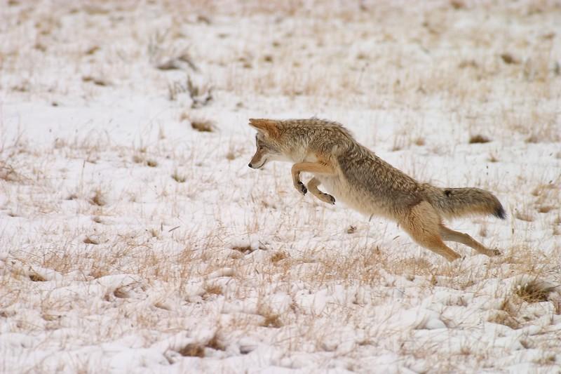 Coyote Pounce Yellowstone 769_6937.jpg