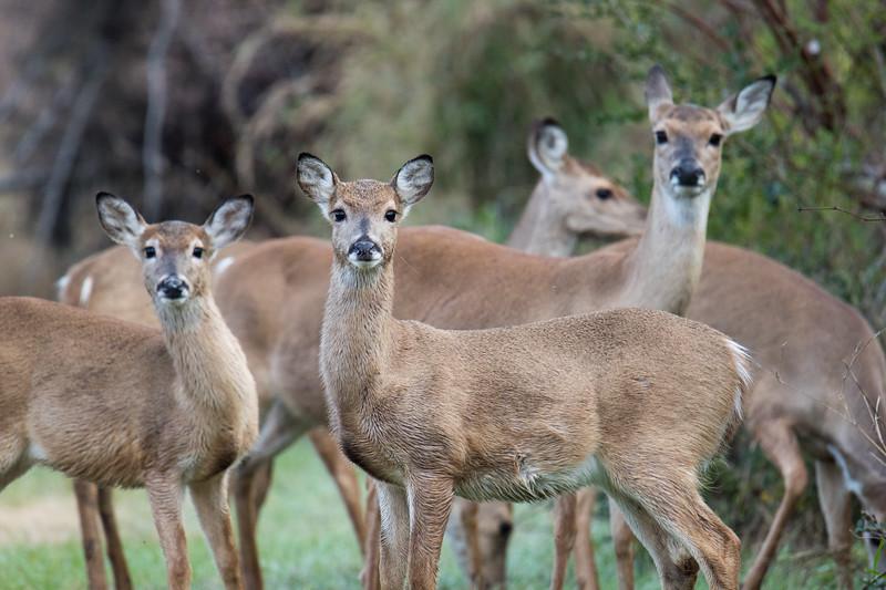White-tailed Deer Aransas TX 2020-2.jpg