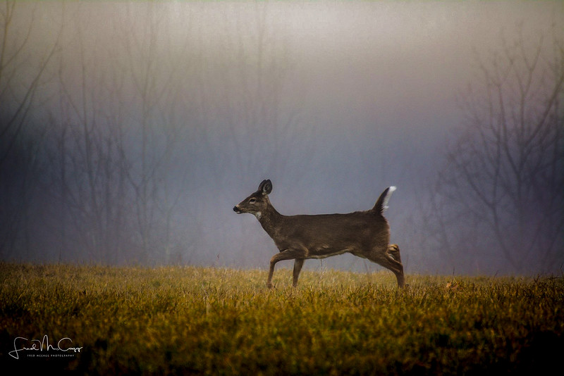 Doe in the Mist.jpg
