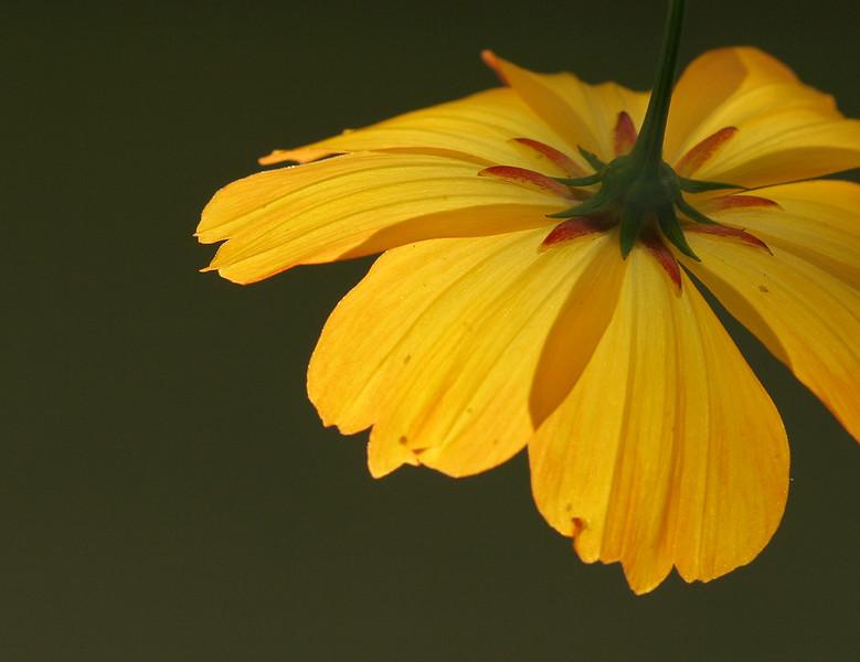 0620 Cosmos crop.jpg