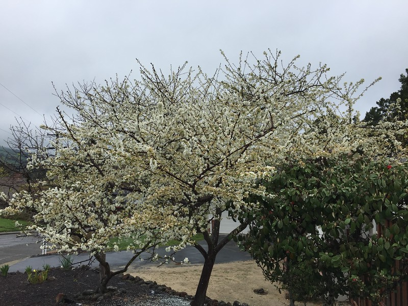 Trees in spring under drizzle