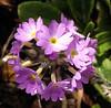 Primula denticulata. (Drumstick or Himalayan Primrose)