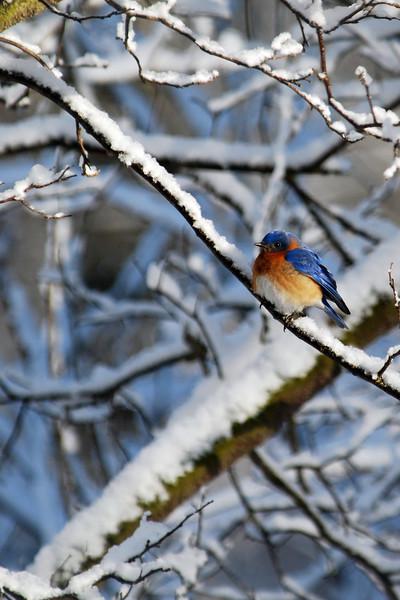 Eastern Bluebird on a snowy April morning