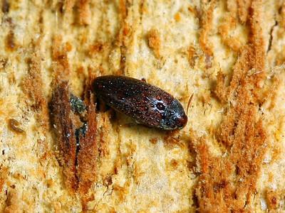 Melandryidae - False Darkling Beetles