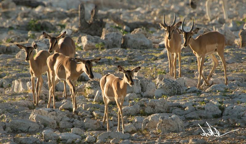 AntelopeS-2.jpg