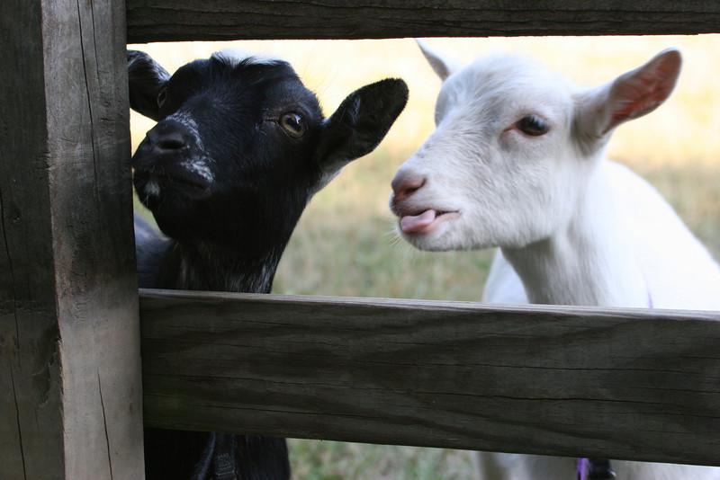 back yard goats in Vineland, NJ