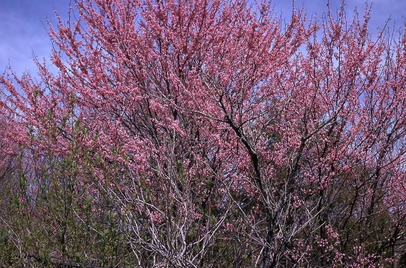 spring 1975-''RED BUD''.jpg