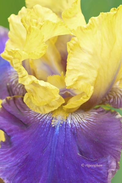 Bearded Iris Knick Em Dead