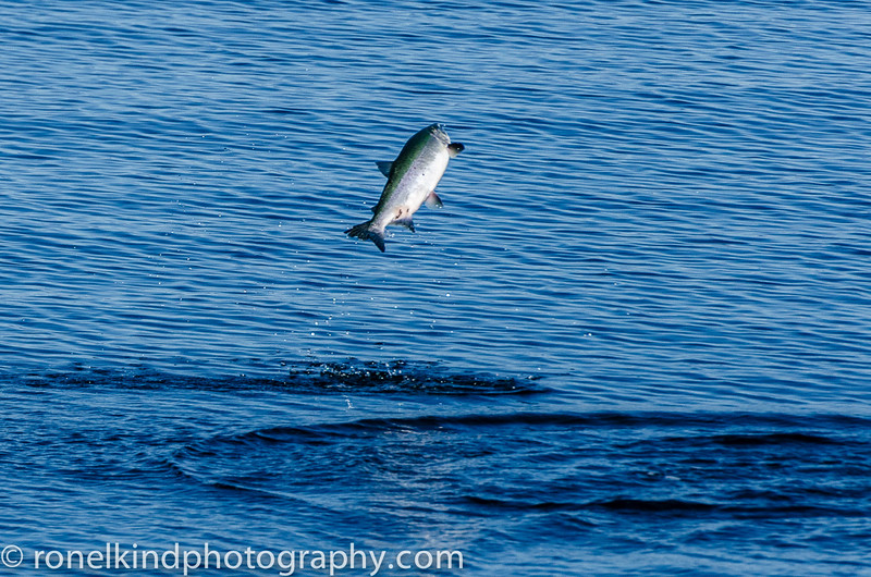 A terrified salmon!