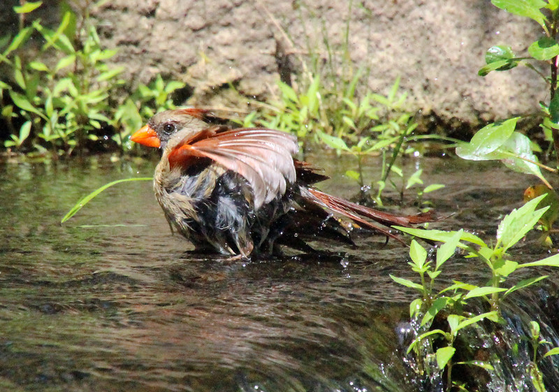 Cardinal bathing 1