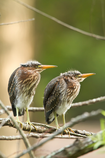 Green heron fledgling pair