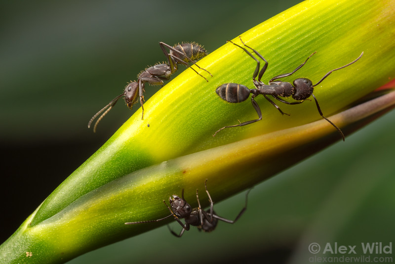 Camponotus leydigi